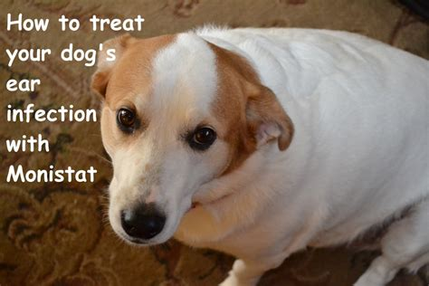 yeast infections in dogs search results for yeast contamination therapy for dogs