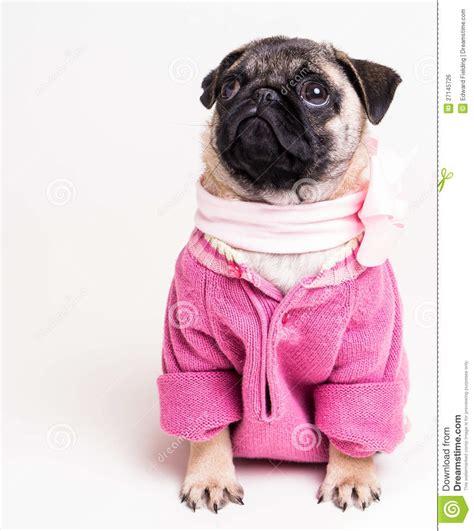 pink pug image gallery pink pug