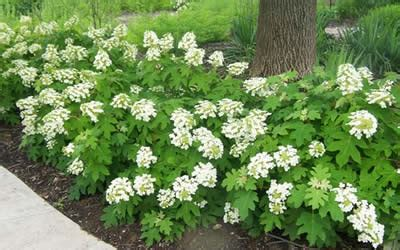 Miniature Shrubs That Flower - buy wee dwarf oakleaf hydrangea hydrangea quercifolia wee 1 gallon shrubs