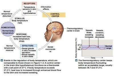 03. homeostasis anatomy & physiology biol121 with morris