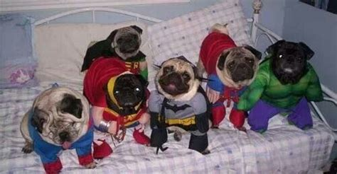 the pug dc marvel vs dc pug style pug pictures pin your pugs