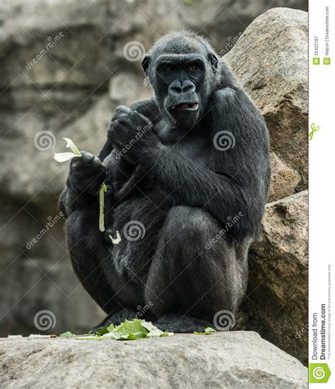 Gorilla Royalty Free Stock Photography - Image: 32422187