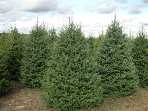 balsam tree balsam fir thinglink