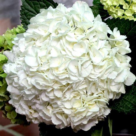 white select hydrangea