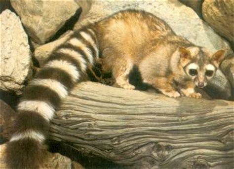 how long do house cats live raccoon information