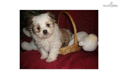 malti pom puppies for sale malti pom maltipom for sale for 690 near humboldt county california d3e47439 5581