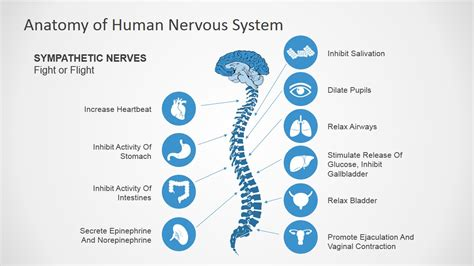 powerpoint templates free nervous system anatomy of human nervous system slide design for