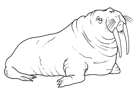 12 Free Animal Walrus Coloring Sheet For Kids Walrus Coloring Page