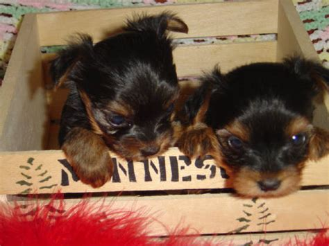 minnesota yorkie breeders elk river baby yorkie breeder puppies for sale mn