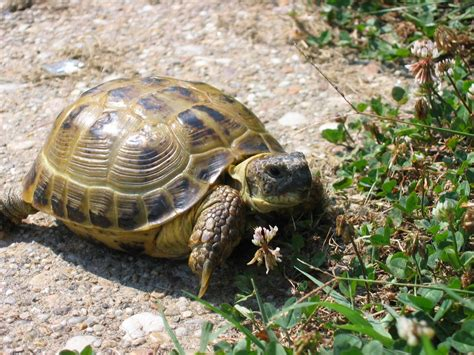 Tortoise L by All About Animal Wildlife Tortoise Images And Information