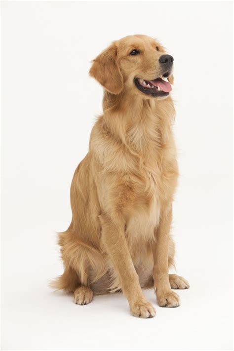 golden retrievers information 15 things you didn t about golden retrievers puppys facts and followers