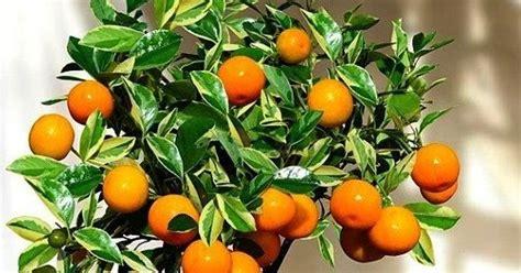 ruthless jenis tanaman hias buah  bisa