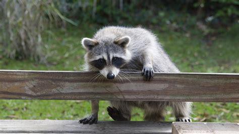 raccoon poop in backyard drugged marshmallows can keep urban raccoons from spreading disease ncpr news