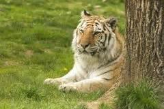 tigre seduta tigre di seduta stock images 1 676 photos