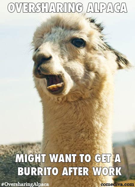 Alpaca Memes - baby alpaca memes