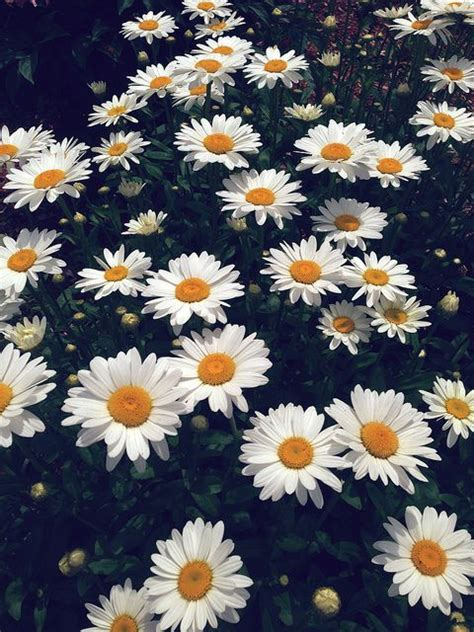 tumblr wallpapers daisies daisies tumblr pesquisa google daisies pinterest