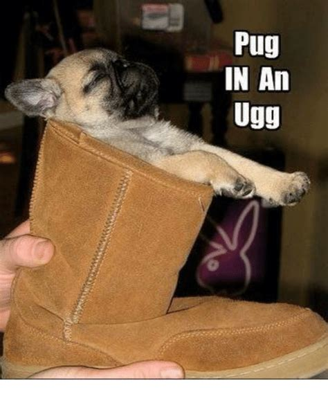 pug in a ugg 25 best memes about pug in an ugg pug in an ugg memes