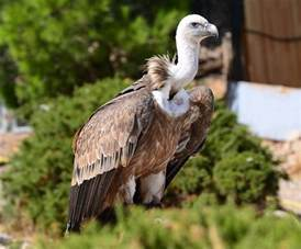 Barn Owl Baby Griffon Vulture Nature