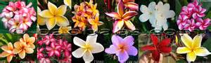 Hawaiian Flower Types - plumeria frangipani growing frangipani