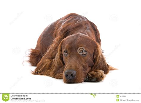 irish setter dog time irish red setter dog stock photo image of wait mammal