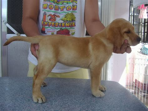 top rottweiler breeders in philippines rottweiler for sale philippines 2015 dogs our friends photo