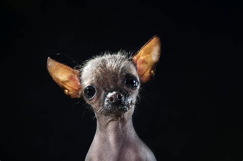 hairless puppies gamand photographs hairless dogs in series prophecy