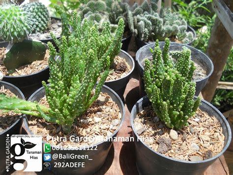 putra garden bali promo tanaman hias kaktus mini