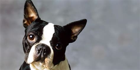 boston terrier puppies for sale in michigan boston terrier in michigan breeds picture