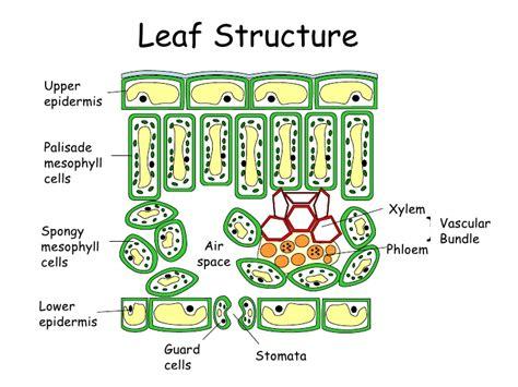 mesophyll cell diagram image gallery leaf mesophyll