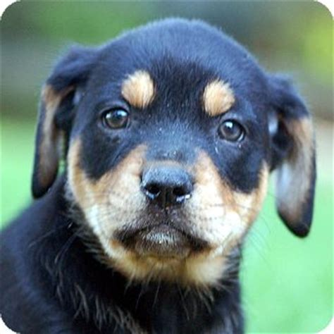 bobtail rottweiler breeders australia pet not found