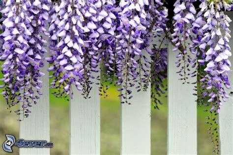 glicine fiori glicine