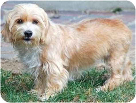 lhasa apso and yorkie mix adopted greensboro nc yorkie terrier lhasa apso mix