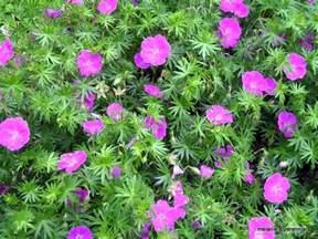 melanie s perennials hardy geraniums