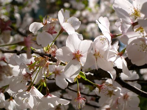 types of cherry trees www pixshark com images galleries with a bite