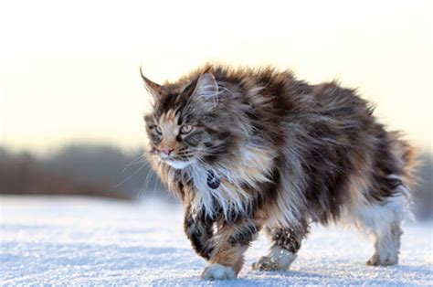 maine coon cat breed learn about the maine coon cat breed from a trusted
