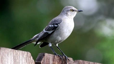 mockingbird call bird song youtube