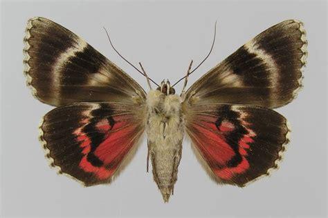 braut etymologie bestimmungshilfe des lepiforums catocala promissa