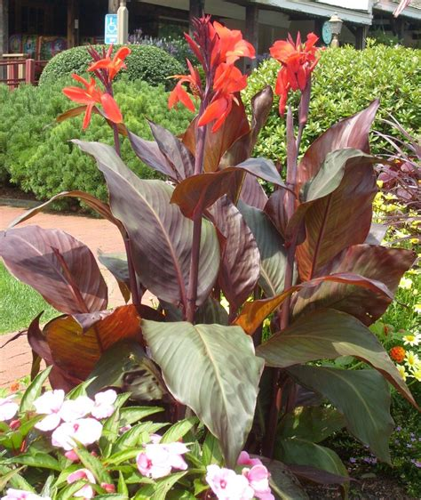 Planter Flowers by Canna Umass Amherst Greenhouse Crops And