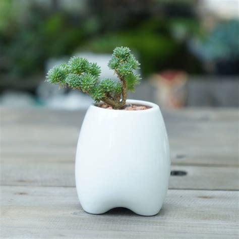 tooth shaped planter ceramic tooth shaped planter by dingading terrariums