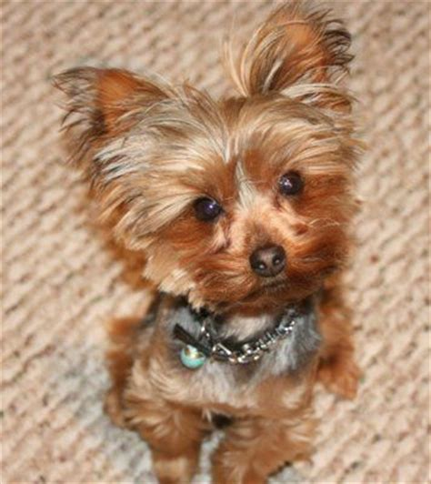 how to cut a yorkie poo s hair 85 best images about yorkie haircuts on pinterest best
