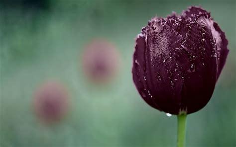 imagenes para fondo de pantalla de tulipanes oscuro tulip 225 n p 250 rpura fondos de pantalla gratis