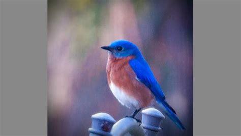 garden q a where did all the blue birds go eco save earth