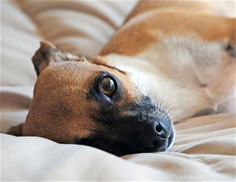 hypercalcemia in dogs hypocalcemia in dogs