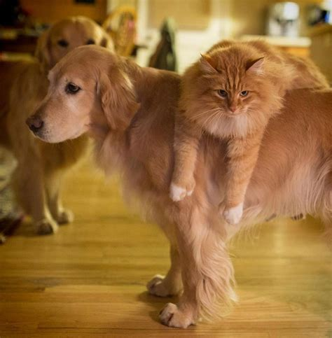 golden retriever and cats 41 reasons why golden retriever are the most majestic creatures on earth sivar es humor