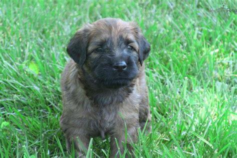 briard puppies for sale briard puppy for sale near raleigh durham ch carolina f18af471 1d41