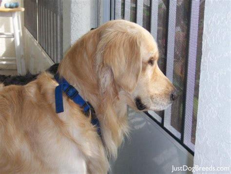 how big can golden retrievers get all retriever breeds breeds picture