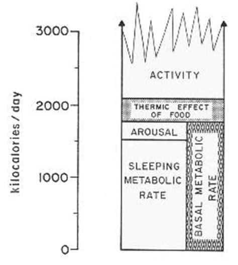 termogenesi alimentare il dispendio energetico