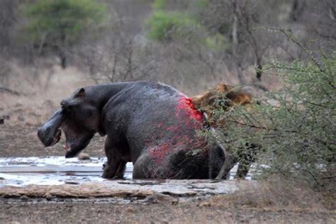 imagenes de leones vs hienas 301 moved permanently