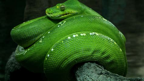 wallpaper python singapore  hd wallpaper zoo emerald green snake eyes close