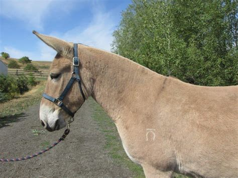 fjord mule mindy sue 4 yr old rare norweigen fijord molly mule for